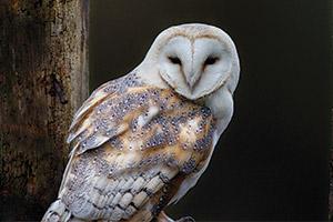 Barn-Owl-Cam-Nestcam-(USA)