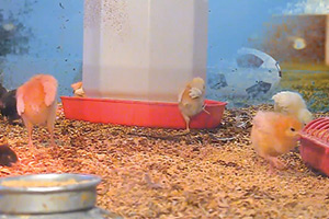 Chicks-Cam-(USA)