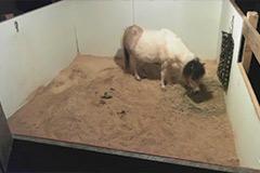 Mini-Horse-Live-Cam-(USA)