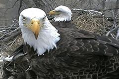 Decorah-Eagles-(USA)