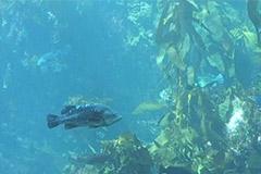 Kelp-Cam-(USA)