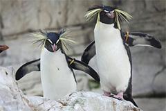 Rockhopper-Penguins-(USA)