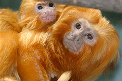 Golden-Lion-Tamarin-(USA)